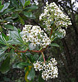 Escallonia paniculata, known as Tibar (9480038455).jpg