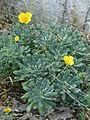 Eschscholzia californica (9554402674).jpg