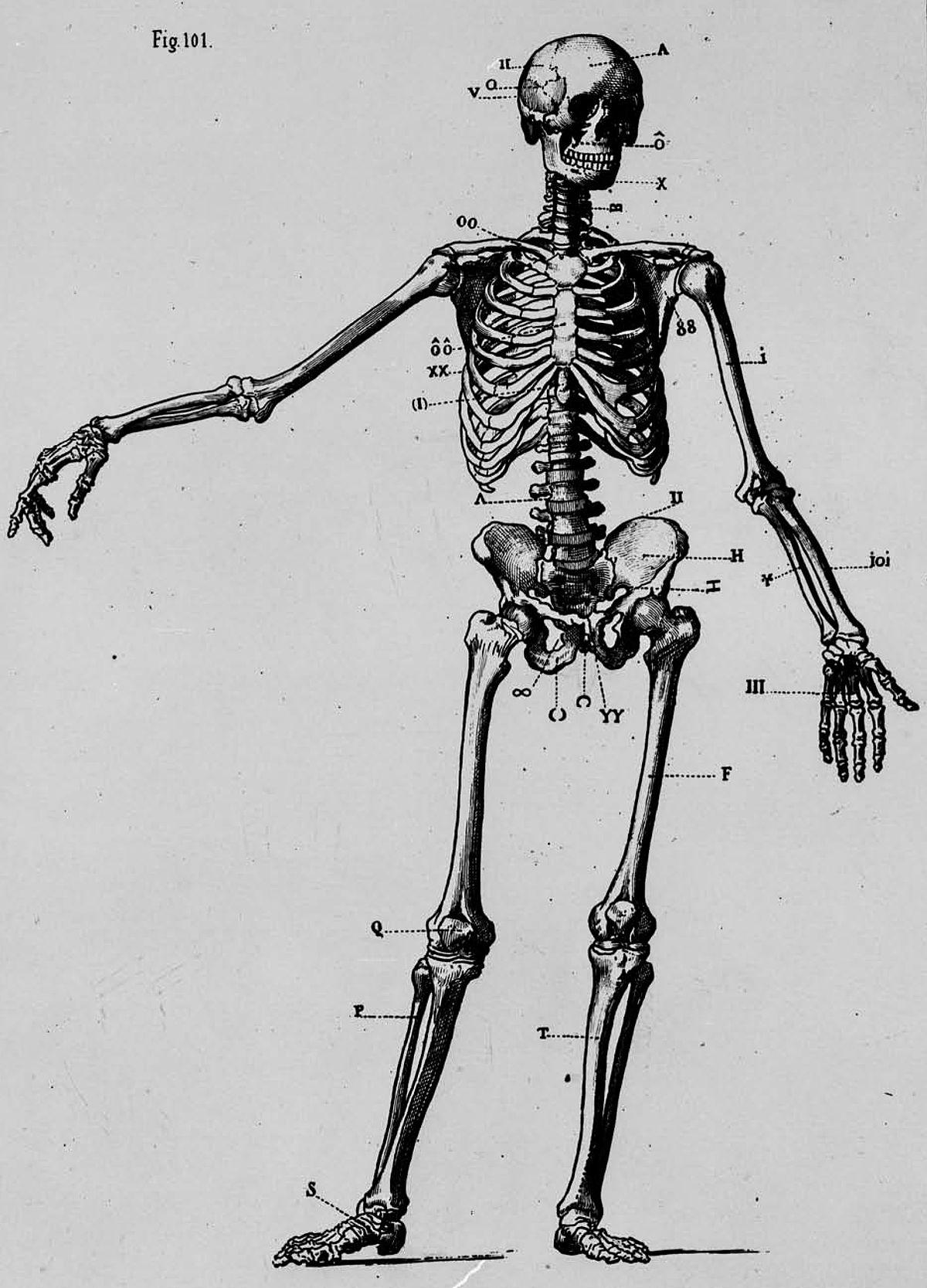 Cadarma humana - Wikipedia