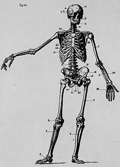 Esqueleto del cuerpo del hombre, de Mariano Borrell (cropped).jpg
