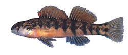 Etheostoma scotti.jpg