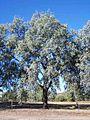 Eucalyptus-melanophloia-1.jpg