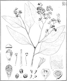"Eucalyptus behriana from ""Eucalyptographia. A descriptive atlas of the eucalypts of Australia and the adjoining islands""; (1879) (20165942804).jpg"
