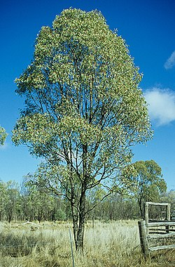 Eucalyptus orgadophila.jpg