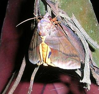 <i>Eudocima phalonia</i> Species of moth