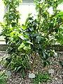 Eugenia uniflora - Copenhagen Botanical Garden - DSC07412.JPG
