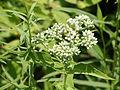 Eupatorium perfoliatum SCA-9256.jpg