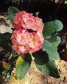 Euphorbia Milii(1).jpg