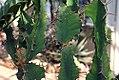 Euphorbia grandicornis 0zz.jpg
