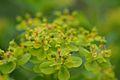 Euphorbia palustris (7180027927).jpg