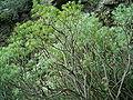 Euphorbia regis-jubae (Cueva del Belmaco) 01.jpg