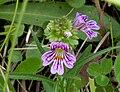 Euphrasia alpina ENBLA01.jpeg