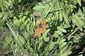 Euphydryas aurinia, Srbija (221).jpg