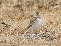 Eurasian Skylark (Alauda arvensis) (49279431107).jpg