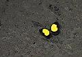 Eurema celebensis 58853252.jpg
