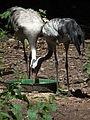 Europäischer Kranich Zoo Landau.JPG