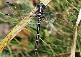 <i>Eusynthemis guttata</i> Species of dragonfly