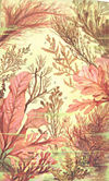 FMIB 53676 Algues rouges, Floridees ou Rhodophycees.jpeg