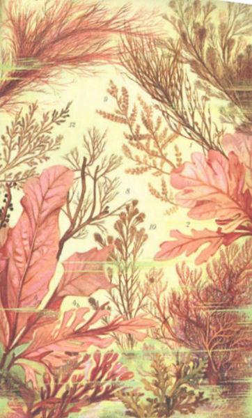File fmib 53676 algues rouges floridees ou rhodophycees for Algues rouges piscine