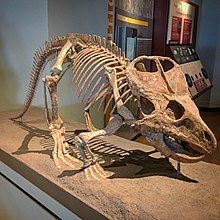 FMNH Protoceratops.jpg