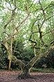 Fagales - Quercus robur - 3.jpg
