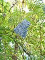 Fall Berries (268806158).jpg