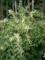Fallopia japonica1.jpg