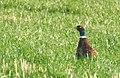 Fasan Common Pheasant (31222339446).jpg