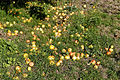 Feeringbury Manor garden fallen apples, Feering Essex England.jpg