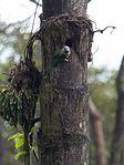 Female Malabar Parakeet (28889141902).jpg