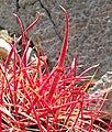 Ferocactus cylindraceus 8.jpg
