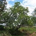 Ficus coronata tree.jpg