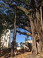 Ficus no Bairro Castelo - Belo Horizonte, MG - panoramio (1).jpg
