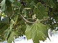 Ficus sycomorus in Tel Aviv-Yafo 02.jpg