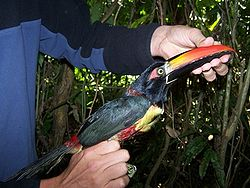 Fiery-billed Aracari.jpg