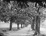 Fig Tree Avenue, Domain (2363478290).jpg