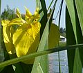 Fiore di Iris Pseudacorus.jpg