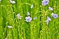 Fleurs de lin, Bourg-Dun.jpg