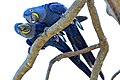 Flickr - ggallice - Macaw pair.jpg