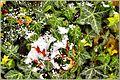 Flickr - ronsaunders47 - Festive ivy.jpg