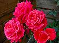 Flickr - ronsaunders47 - QUARTET OF ROSES.jpg