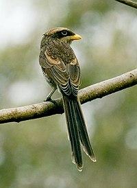 Flickr - tj.haslam - Yellow-billed Shrike (Corvinella corvina).jpg