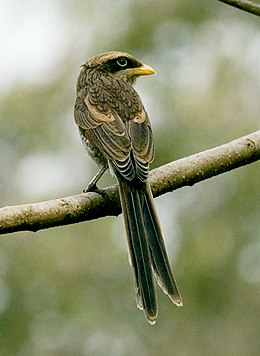 Flickr - tj.haslam - Yellow-billed Shrike (Corvinella corvina).jpg