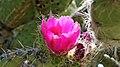 Flor de nopal, El laurel, Sn Pedro Atzumba, Oaxaca - panoramio.jpg