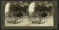 Florida Ostrich Farm - Hatching eggs, Jacksonville, Fla, from Robert N. Dennis collection of stereoscopic views.png