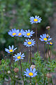 Flower, Blue Daisy - Flickr - nekonomania.jpg