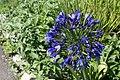 Flowers at Ventnor Botanic Garden in August 2011 14.JPG