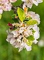 Flowers of Malus domestica (8).jpg