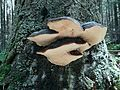 Fomitopsis pinicola T69.jpg