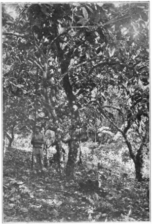 Fotg cocoa d023 cacao trees in trinidad.png